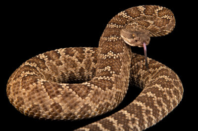 Photo: A Northern Pacific rattlesnake (Crotalus oreganus oreganus) at the American International Rattlesnake Museum in Albuquerque, NM.