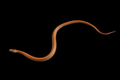 Photo: A northern redbelly snake (Storeria occipitomaculata occipitomaculata) at the Wildlife Rehabilitation Center of Minnesota.