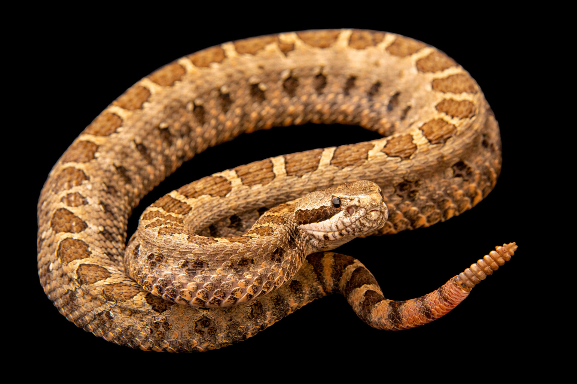 Photo: A Tlaloc's rattlesnake (Crotalus tlaloci) from a private collection.