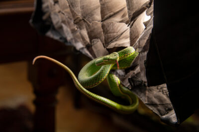 Photo: A Yunnan bamboo pitviper (Trimeresurus yunnanensis) from a private collection.