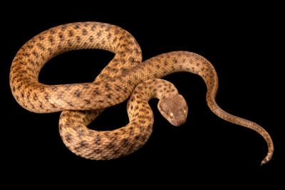 Photo: A Southern night snake (Madagascarophis cf. meridionalis) at the Plzen Zoo in the Czech Republic.