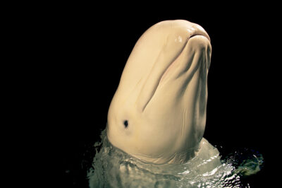 Photo: A beluga whale (Delphinapterus leucas) at SeaWorld San Diego.