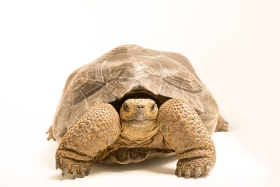 Photo: A Volcan wolf Galapagos tortoise (Chelonoidis nigra becki). This is a juvenile female tortoise named Isabela.