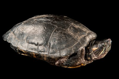 Photo: Columbian slider (Trachemys scripta callirostris) at the Miller Park Zoo.