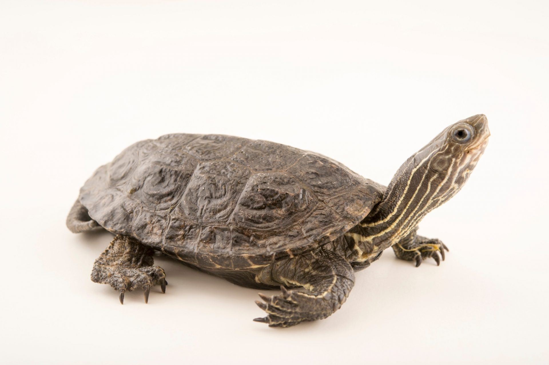Photo: Eurasian pond turtle (Mauremys rivulata) at the Plzen Zoo in the Czech Republic.