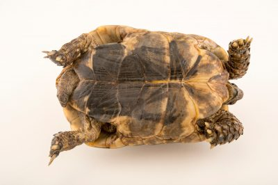 Photo: South Morocco spur thighed tortoise (Testudo graeca soussensis) at the Plzen Zoo in the Czech Republic.