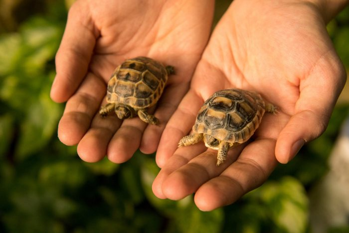 Six-month-old Greek tortoises (the large one is Testudo marginata, and the smaller one is testudo graeca) at Parco Natura in Bussolengo, Italy.