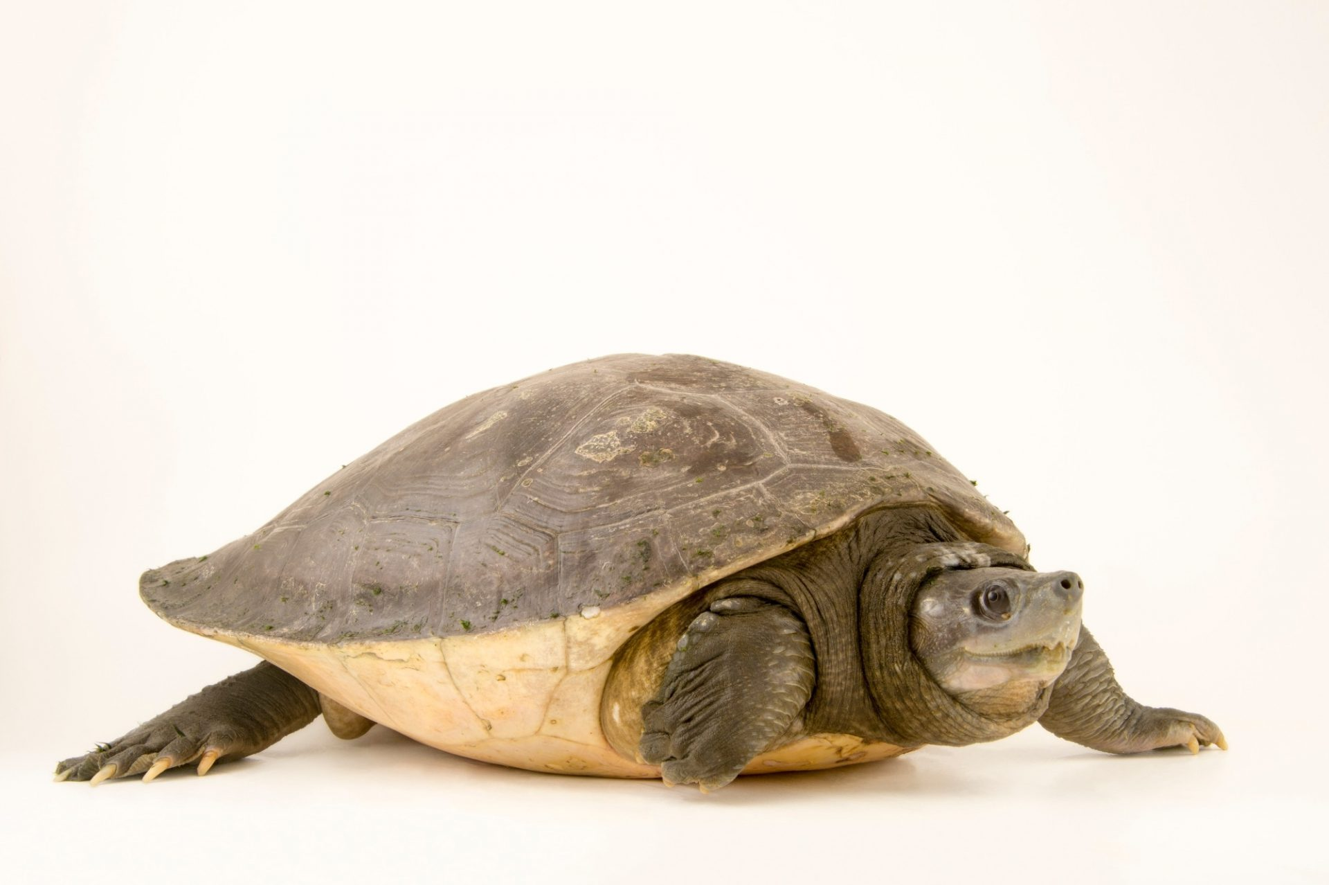 Photo: A critically endangered southern river terrapin (Batagur affinis) at the San Antonio Zoo.