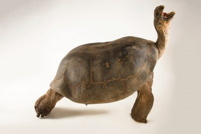Photo: Volcan Alcedo tortoise (Chelonoidis nigra vandenburghi) at the Oklahoma City Zoo.