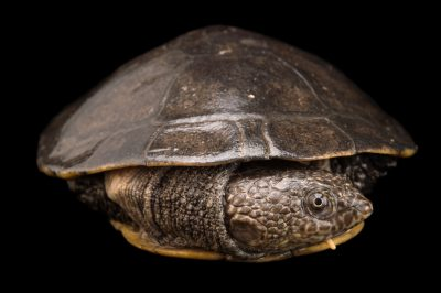 Photo: Toadhead turtle or gibba turtle (Mesoclemmys gibba) at Piscilago, a zoo in Colombia.