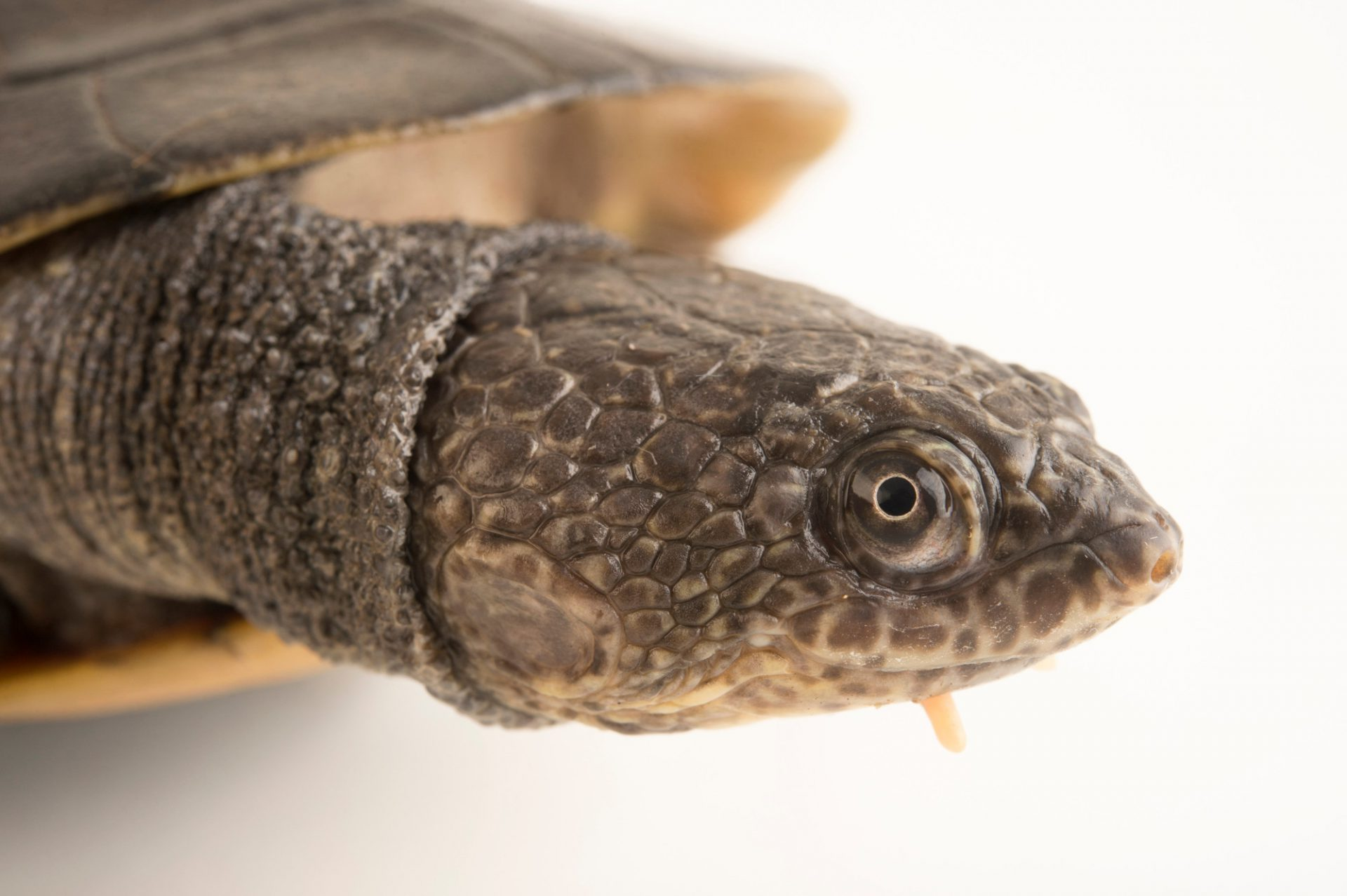 Photo: Toadhead turtle or gibba turtle (Mesoclemmys gibba) at Piscilago Zoo in Bogota, Colombia.