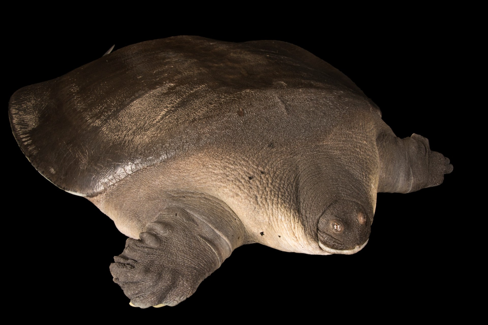 Photo: CantorÕs giant softshell turtle (Pelochelys cantorii) at Zoo Negara.