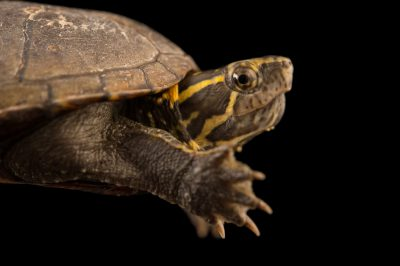 A Mississippi mud turtle (Kinosternon subrubrum hippocrepis) at the Conservancy of Southwest Florida.