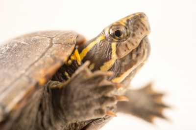 Common mud turtle/Mississippi mud turtle (Kinosternon subrubrum hippocrepis) at the Conservancy of Southwest Florida.