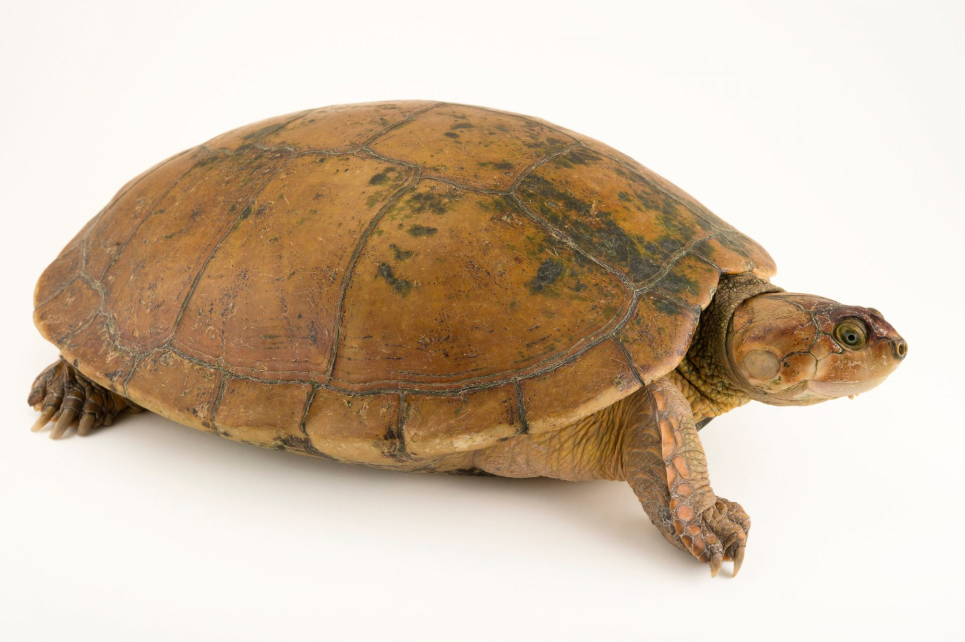Photo: The Magdalena River turtle or Rio Magdalena river turtle (Podocnemis lewyana) at Cafam Zoo in Melgar, Colombia.