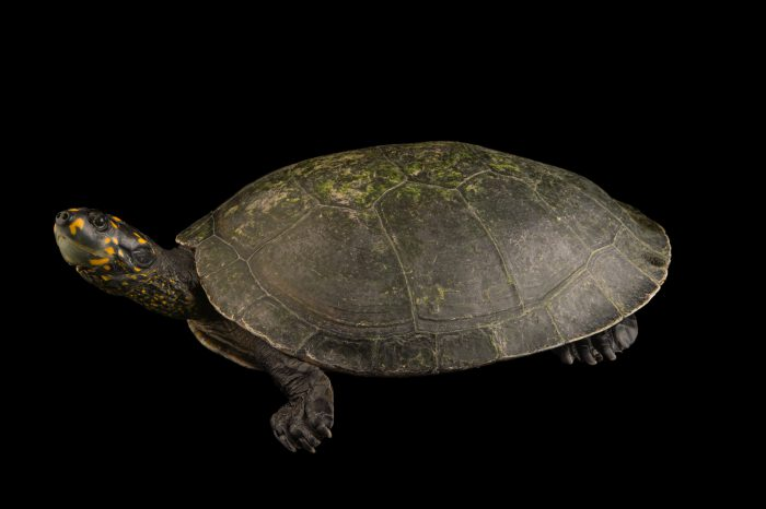 A juvenile giant South American turtle (Podocnemis expansa) at Cafam Zoo.