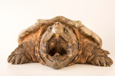 Suwannee alligator snapping turtle (Macrochelys suwanniensis) from the Suwannee River in Florida.