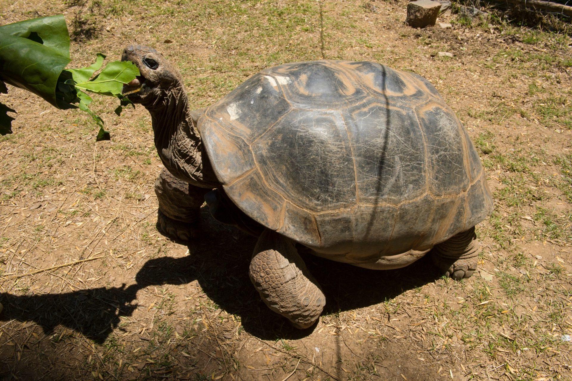 Photo: An Aldabra giant tortoise, Aldabrachelys gigantea, at Tsimbazaza Zoo.