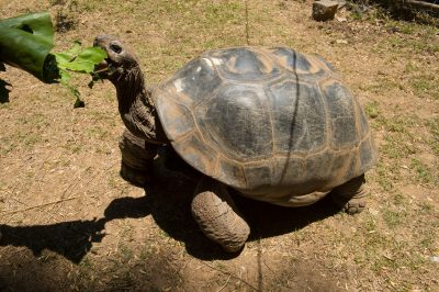 Photo: An Aldabra giant tortoise, Aldabrachelys gigantea, at Tsimbazaza Zoo.