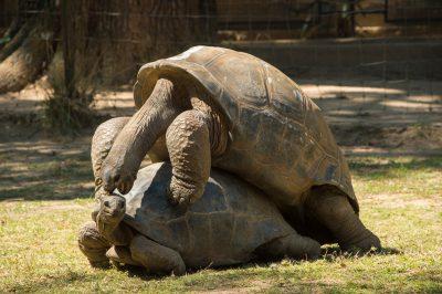 Photo: Two Aldabra giant tortoises, Aldabrachelys gigantea, at Tsimbazaza Zoo.