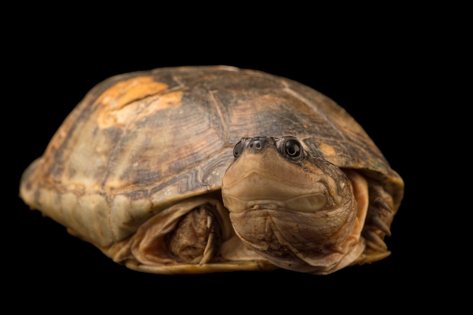 Photo: A yellow-bellied mud turtle, Pelusios castanoides, at Tsimbazaza Zoo.