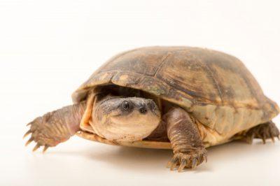 Photo: A yellowbelly mud turtle, Pelusios castanoides, at Tsimbazaza Zoo.