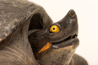 Photo: A male Indochinese southern terrapin (Batagur affinis edwardmolii) at ACCB in Siem Reap, Cambodia.