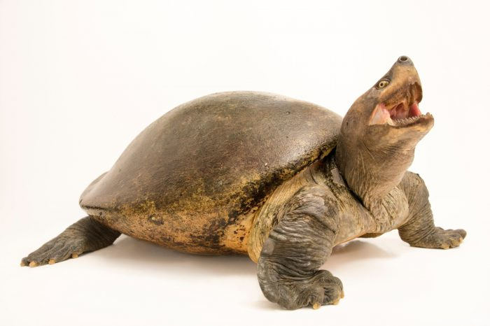 Photo: A female Indochinese southern terrapin (Batagur affinis edwardmolii) at ACCB in Siem Reap, Cambodia.