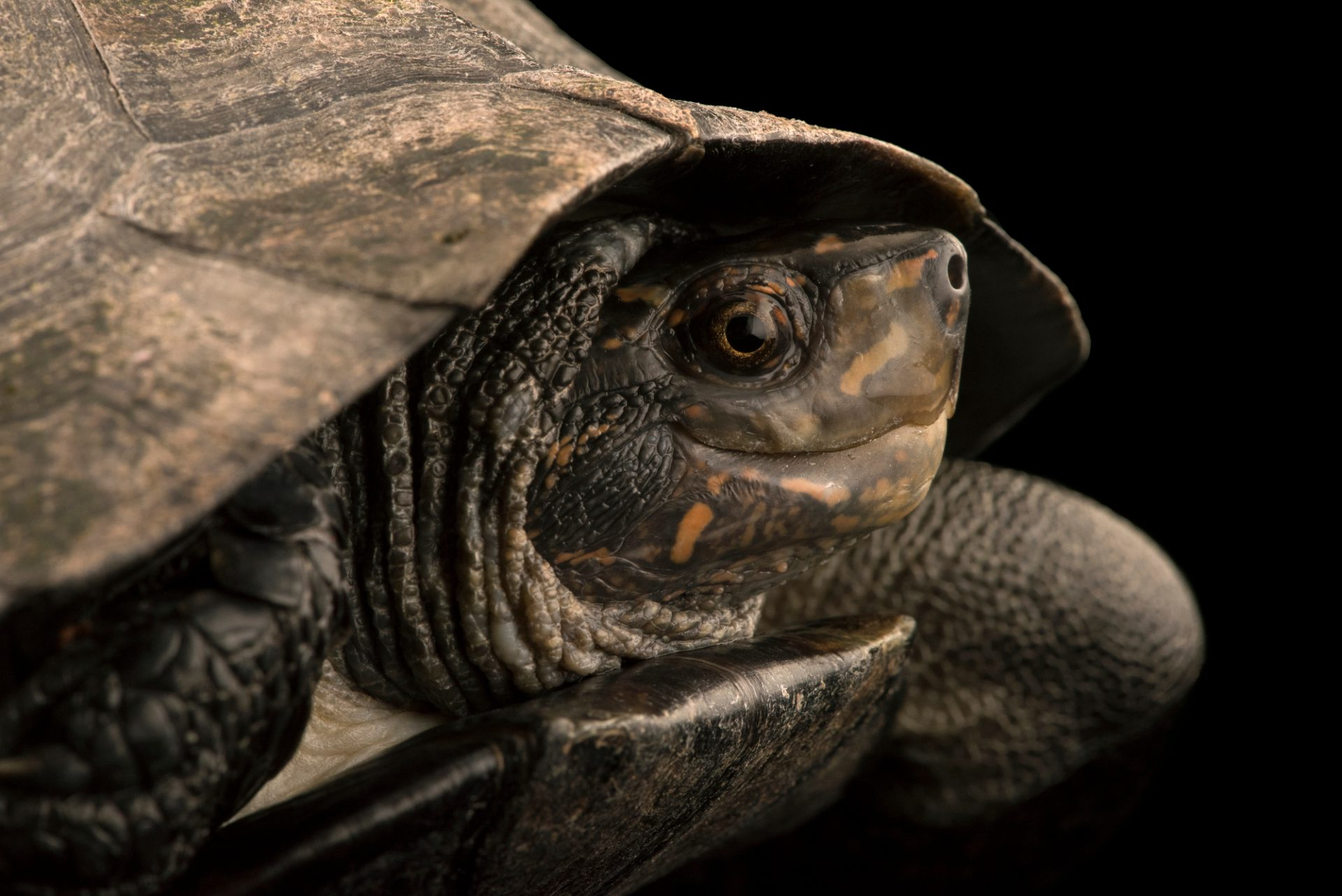 Photo: Indian black turtle (Melanochelys trijuga) at the Singapore Zoo.