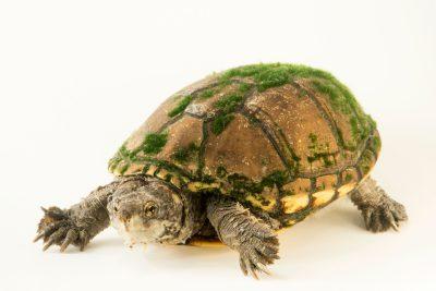 Photo: Sonoyta mud turtle (Kinosternon sonoriense longifemoralis) at the Arizona-Sonora Desert Museum.