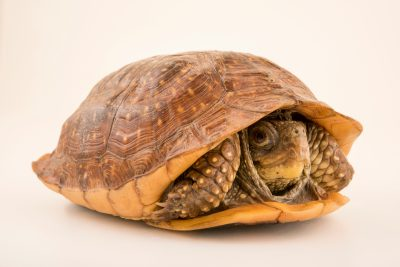 Photo: Northern spotted box turtle (Terrapene nelsoni klauberi) at the Arizona-Sonora Desert Museum.
