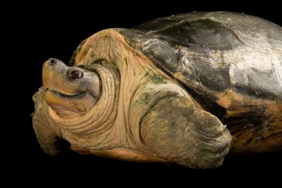 Photo: A critically endangered female Burmese roofed turtle (Batagur trivittata) at the Singapore Zoo.