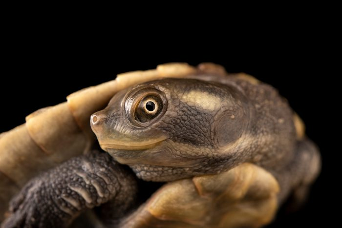 Photo: Cooper creek turtle (Emydura macquarii emmotti) at Templestowe College