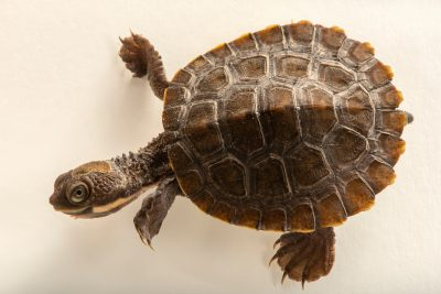 Photo: An endangered Bell's turtle (Myuchelys bellii) at Turtles Australia.