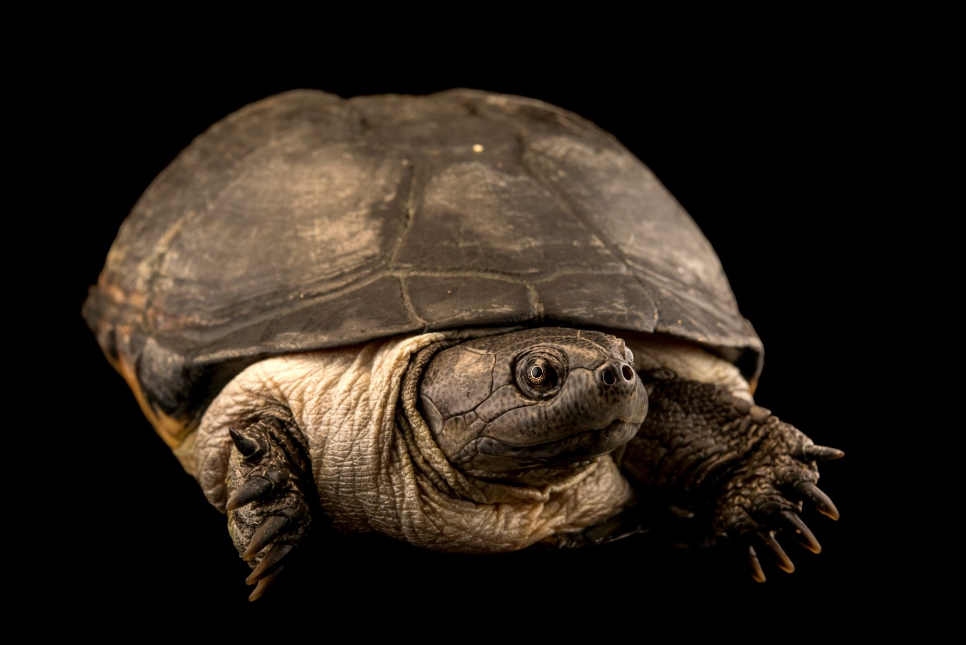 Photo: Adanson's mud turtle (Pelusios adansonii) at Lisbon Zoo.