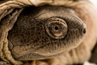 Photo: Adanson's mud turtle (Pelusios adansonii) at Lisbon Zoo.