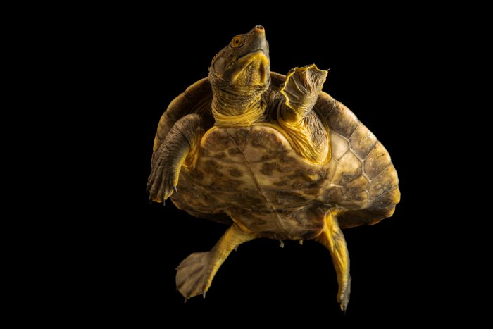 Photo: A critically endangered Central American river turtle (Dermatemys mawii) at the Oklahoma City Zoo.