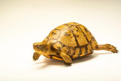 Photo: Yucatan box turtle (Terrapene carolina yucatana) at the Oklahoma City Zoo.