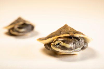 Photo: Two-month old yellow-faced turtles (Emydura tanybaraga) at the Oklahoma City Zoo.