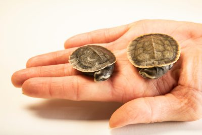 Photo: Two-month old yellow-faced turtles (Emydura tanybaraga) at the Oklahoma City Zoo.