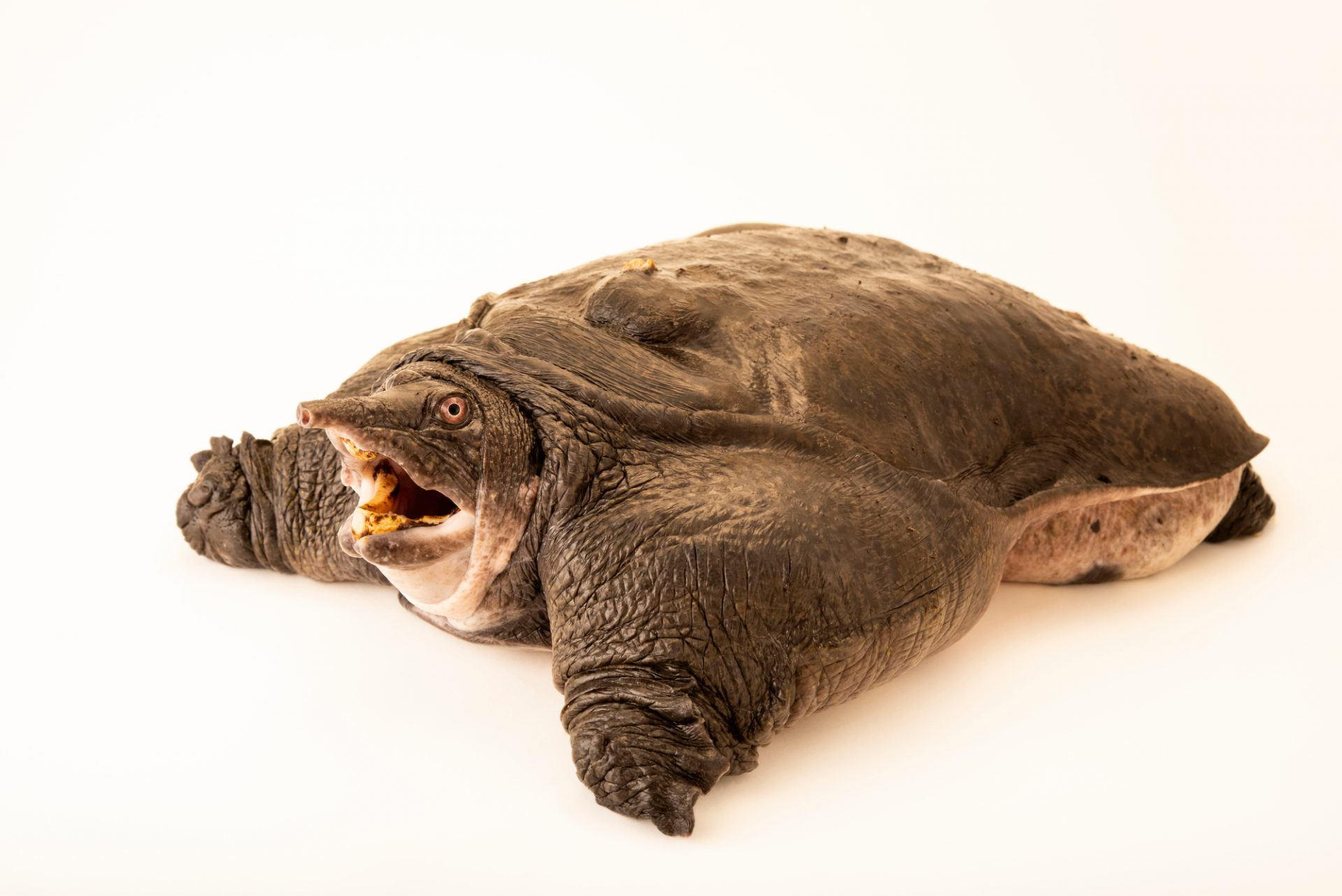 An endangered Burmese peacock softshell turtle (Nilssonia formosa) at Wroclaw Zoo.