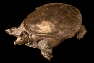 Photo: Critically endangered Nubian flap-shelled turtle (Cyclanorbis elegans) at Wroclaw Zoo.