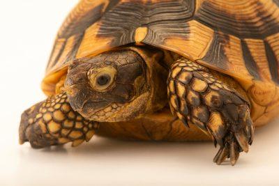 Photo: Spur-thighed tortoise (Testudo graeca ibera) at Wroclaw Zoo.
