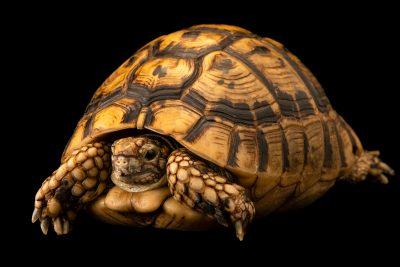 Spur-thighed tortoise (Testudo graeca graeca) at Wroclaw Zoo.