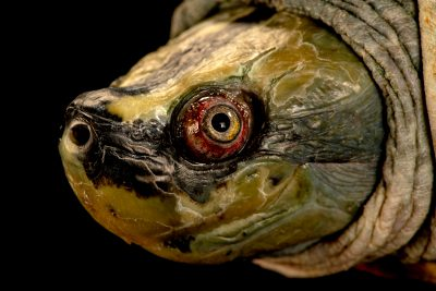 Photo: A critically endangered male Burmese roofed turtle (Batagur trivittata) at the Singapore Zoo.