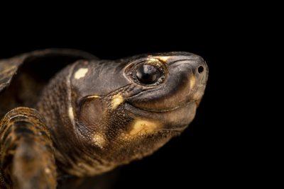 Photo: A Black marsh turtle (Siebenrockiella crassicollis) at Angkor Centre for Conservation of Biodiversity (ACCB) in Cambodia.
