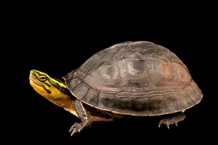 Photo: A Southeast Asian Box Turtle (Cuora amboinensis kamaroma) at Angkor Centre for Conservation of Biodiversity (ACCB) in Cambodia.
