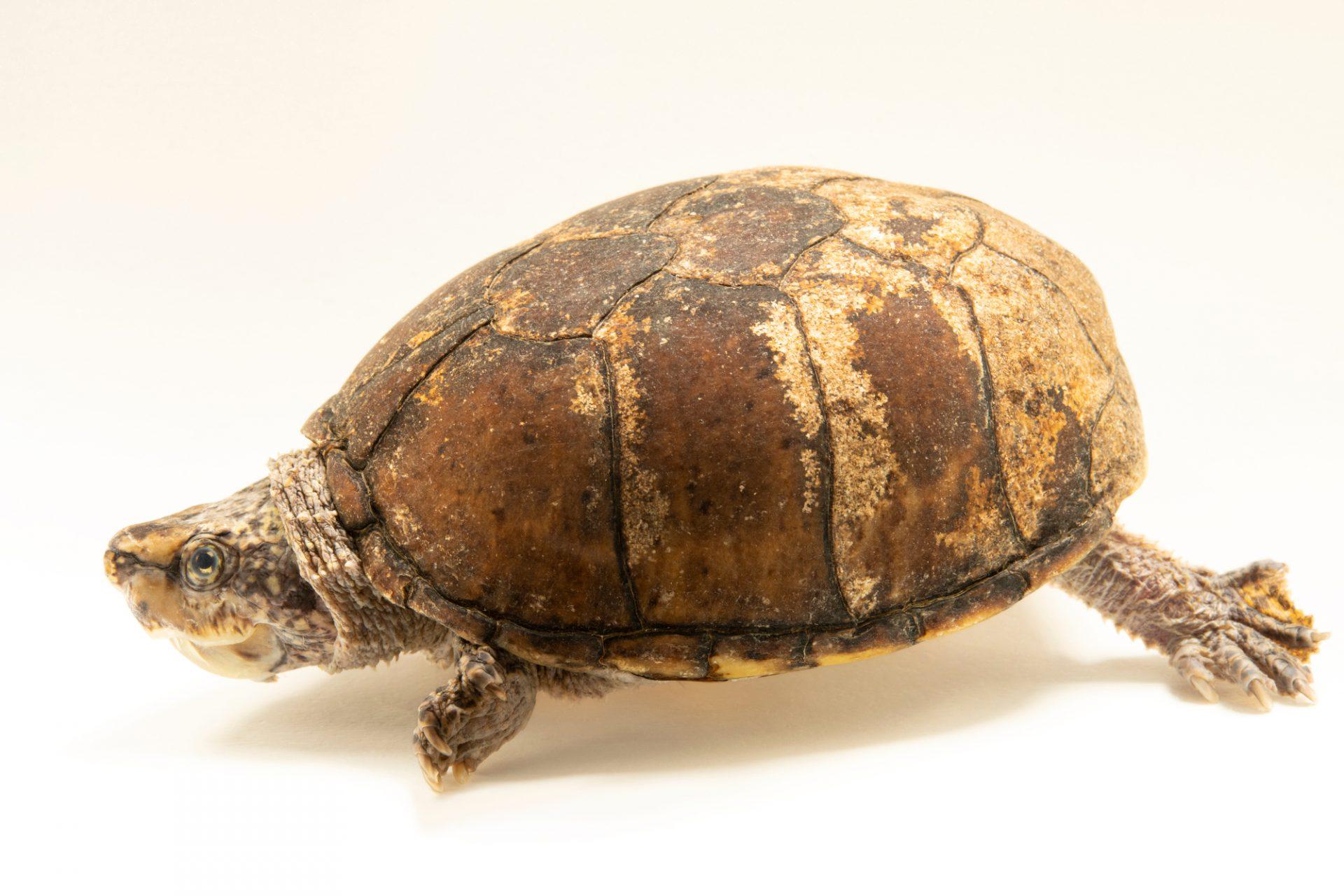 Photo: An Intermediate musk turtle (Sternotherus intermedius) at the Auburn University Natural History Museum.