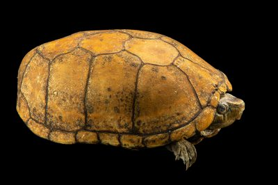 Photo: A rough-footed mud turtle (Kinosternon hirtipes murrayi) at the Conservation Department of the San Antonio Zoo.