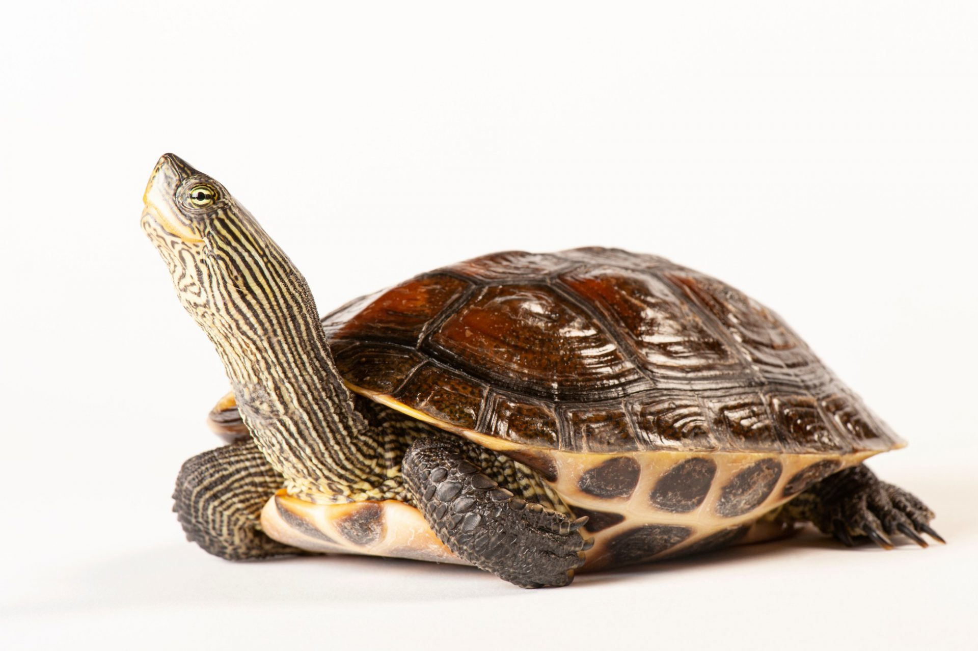 Photo: A golden thread turtle, Ocadia sinensis, at the Sedgwick County Zoo.